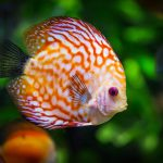 pomarańczowa ryba typu gupik