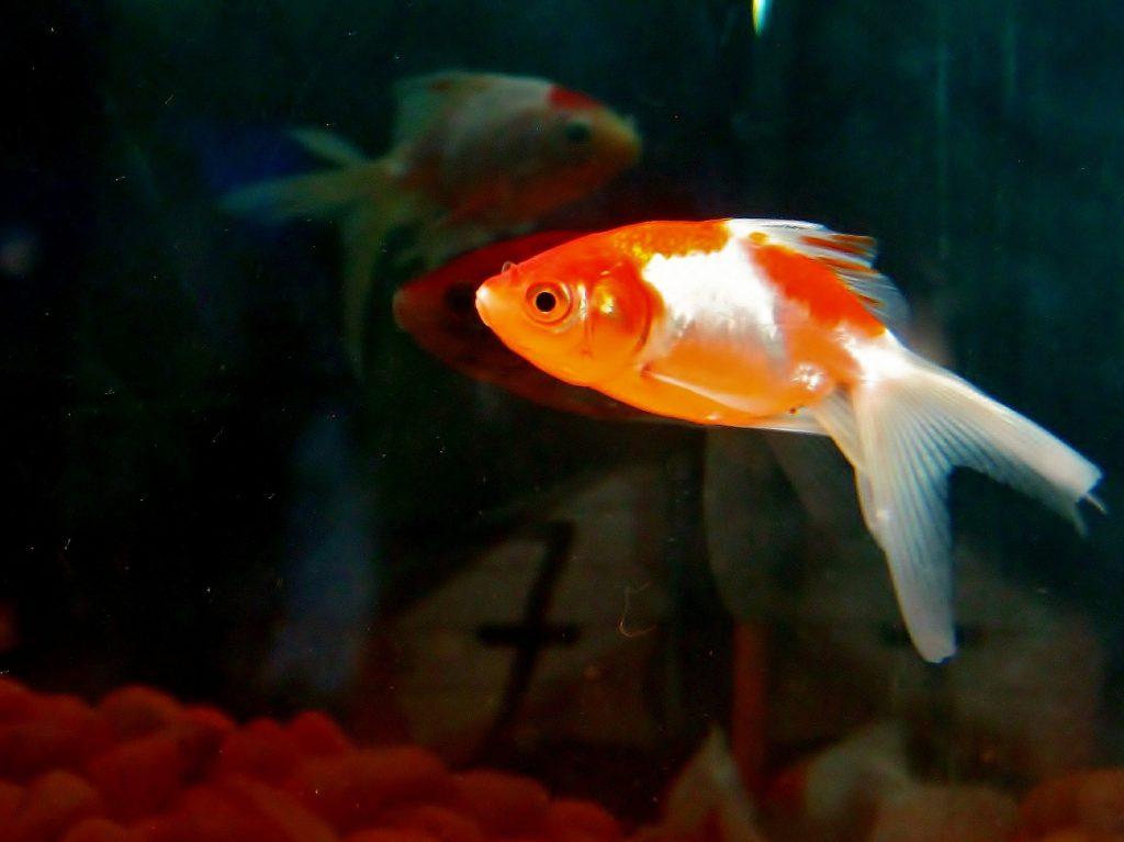 Gupiki - rybki idealne do domowego akwarium