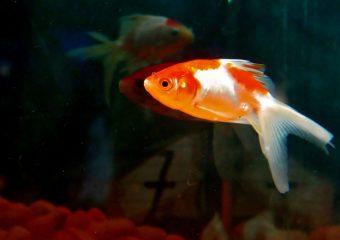 Pomarańczowy gupik pływa w akwarium