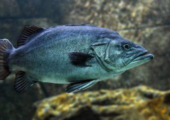 Ryba makrela