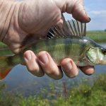 Mężczyzna trzyma rybę typu okoń rzeczny