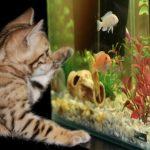 Kotek patrzy na rybę w akwarium