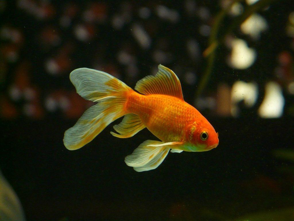 Złoty gupik - fajna rybka