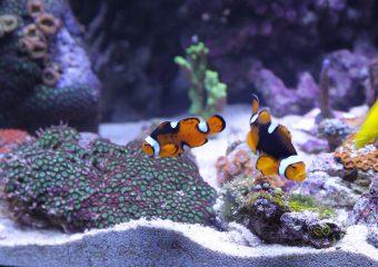 Gupiki w akwarium